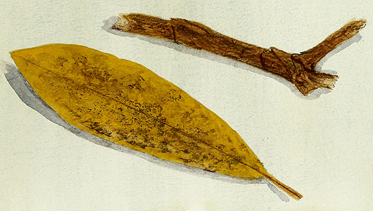 Part of a watercolour nature study of found leaves and branches